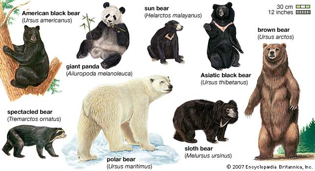 the different species of bears in the world